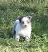 Miniature Australian Shepherd Puppy For Sale in BONNERDALE, AR, USA