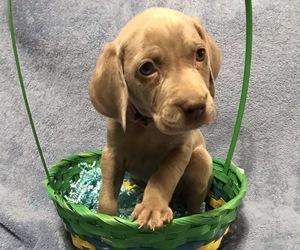 Weimaraner Puppy for sale in JEFF CITY, TN, USA