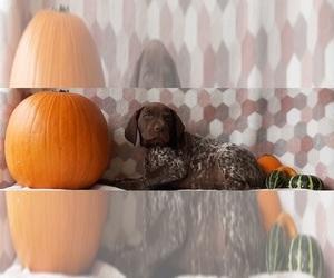 German Shorthaired Pointer Dog for Adoption in LANCASTER, Pennsylvania USA