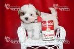 Mi-Ki Puppy For Sale in SANGER, TX, USA