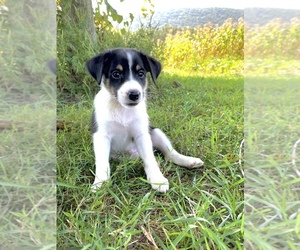 Border Sheepdog Puppy for Sale in HEGINS, Pennsylvania USA