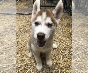 Siberian Husky Dog for Adoption in NEW PORT RICHEY, Florida USA