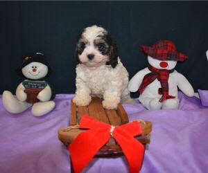 Cavapoo Puppy for Sale in MILLERSBURG, Ohio USA