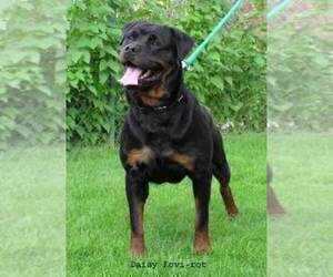 Mother of the Rottweiler puppies born on 09/22/2020