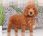 Jack Standard Size AKC Poodle
