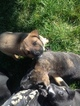 Akita-Rottweiler Mix Puppy For Sale in STOCKTON, CA