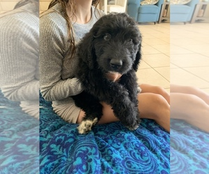 Pyredoodle Puppy for Sale in CHANDLER HEIGHTS, Arizona USA