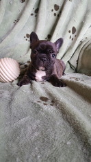 French Bulldog Puppy For Sale in SPRINGFIELD, MO, USA