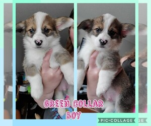 Pembroke Welsh Corgi Puppy for sale in URBANA, IL, USA