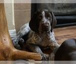 Puppy 11 German Shorthaired Pointer