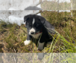 Puppy 2 Karelian Bear Dog