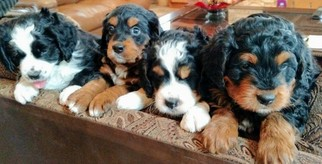 Miniature Bernedoodle Puppy For Sale in LOVELAND, CO