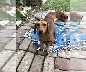 Father of the Dachshund puppies born on 10/27/2020