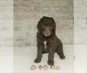 Poodle (Standard) Puppy for sale in FREDERICKSBG, OH, USA