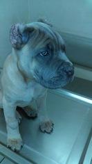 Cane Corso Puppy For Sale in LAS VEGAS, NV, USA