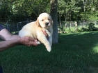 Golden Retriever Puppy For Sale in MATTAPOISETT, MA,