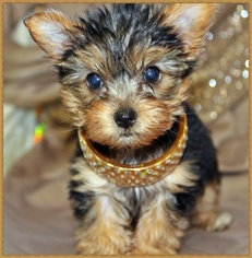 View Ad Yorkshire Terrier Puppy For Sale California San Jose Usa