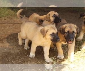 Anatolian Shepherd-Kangal Dog Mix Puppy for Sale in BLOOMINGTON, California USA