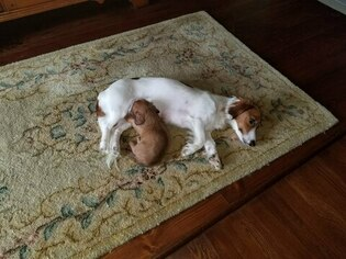 Mother of the Dachshund puppies born on 02/03/2019