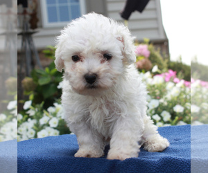 Bichon Frise Puppy for sale in BIRD IN HAND, PA, USA
