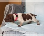 Small #9 German Shorthaired Pointer