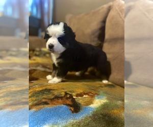Miniature Australian Shepherd Puppy for sale in TANEYVILLE, MO, USA