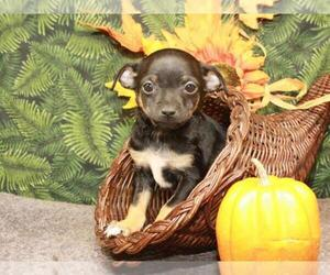 Chihuahua Puppy for Sale in SHAWNEE, Oklahoma USA