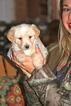 Puppy 3 Labradoodle-Poodle (Toy) Mix