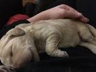 Goldendoodle Puppy For Sale in JONESBORO, AR