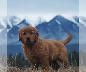 Golden Retriever Puppy for sale in SAINT IGNATIUS, MT, USA