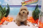 Toy Poodle  Rosie  Female