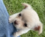 Small Photo #7 Chihuahua Puppy For Sale in NEVADA, TX, USA