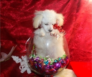 Poodle (Toy) Puppy for Sale in CASSVILLE, Missouri USA