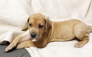View Ad Great Dane Litter Of Puppies For Sale Near Indiana