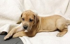Great Dane Puppy For Sale in LAFAYETTE, Indiana,