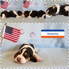 Basset Hound Puppy For Sale in BRYAN, TX
