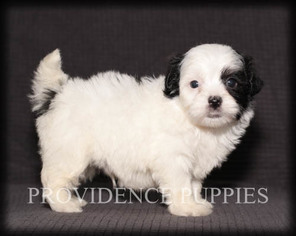 View Ad Havanese Puppy For Sale Near Iowa Coppock Usa Adn 98830
