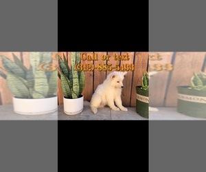Samoyed Puppy for sale in SAN BERNARDINO, CA, USA
