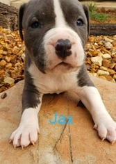 American Pit Bull Terrier Puppy For Sale in CONVERSE, TX, USA