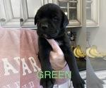 Puppy 6 Mastador