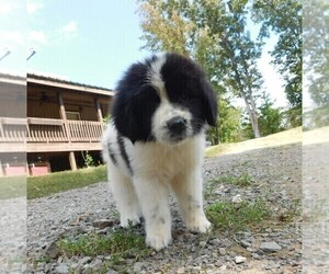 Newfoundland Puppy for sale in CLINTON, AR, USA