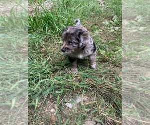 F2 Aussiedoodle Puppy for Sale in ROYALSTON, Massachusetts USA
