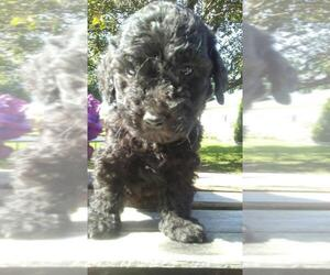 Goldendoodle Puppy for sale in BEAVER CREEK, OH, USA