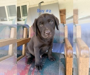 Labrador Retriever Puppy for Sale in ESCONDIDO, California USA