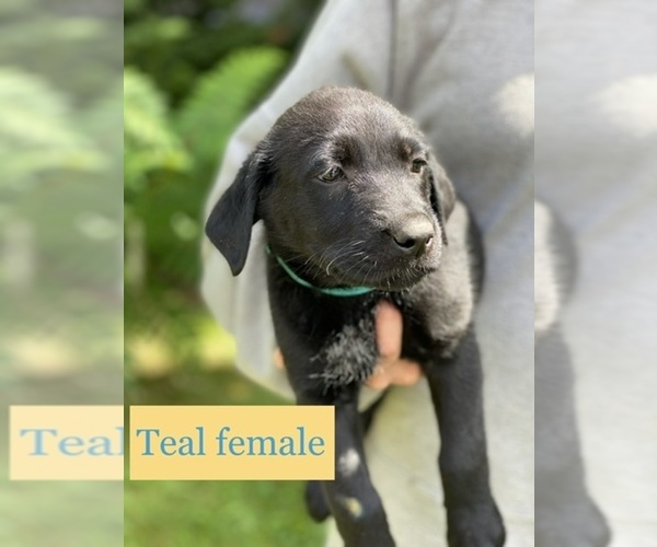Medium Photo #2 Labrador Retriever Puppy For Sale in PINE CITY, MN, USA