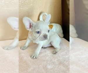 French Bulldog Puppy for Sale in FREMONT, California USA