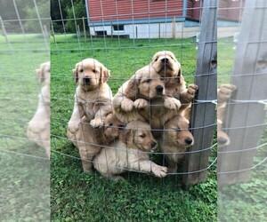 Golden Retriever Puppy for sale in ARLINGTON, WA, USA