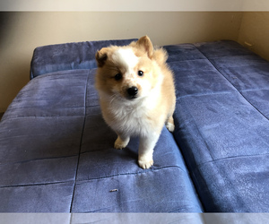 Pomeranian Dog for Adoption in SAN FRANCISCO, California USA