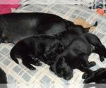 Small #14 Labrador Retriever