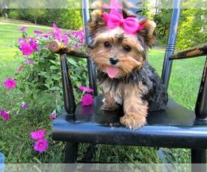 Australian Yorkshire Terrier Puppy for sale in CENTREVILLE, VA, USA